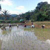 [ILUSTRASI] Perempuan Adat Kasepuhan Cibarani, Lebak Banten sedang menanam padi